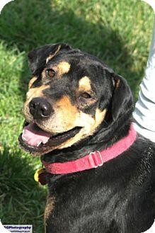 Shar Pei/Rottweiler Mix Dog for adoption in Seattle, Washington - Brutus
