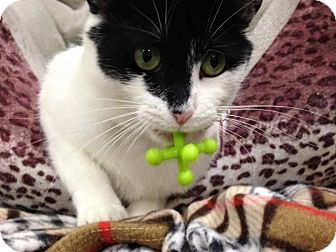 Domestic Shorthair Cat for adoption in Byron Center, Michigan - Taylor