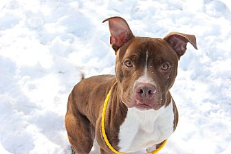 Pit Bull Terrier Mix Dog for adoption in Greensboro, North Carolina - Benji