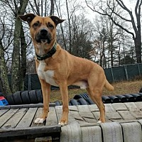 Boxer/Shepherd (Unknown Type) Mix Dog for adoption in Armonk, New York - Wally