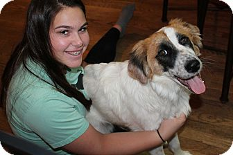 Great Pyrenees/Springer Spaniel Mix Dog for adoption in Naperville, Illinois - Bandit