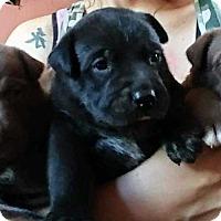 Adopt A Pet :: Lab puppies ready week of June 26th - San antonio, TX
