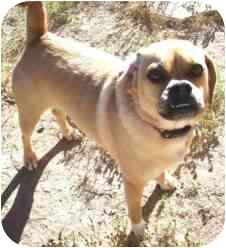 Pug/Beagle Mix Dog for adoption in Gilbert, Arizona - Jada