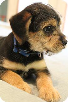 Yorkie, Yorkshire Terrier/Schnauzer (Standard) Mix Puppy for adoption in Hamburg, Pennsylvania - Hollywood