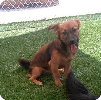 Australian Shepherd/Corgi Mix Dog for adoption in Daytona Beach, Florida - Lizzie