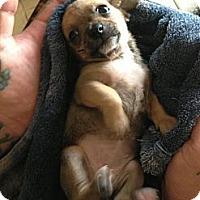 Adopt A Pet :: Chichi - pasadena, CA