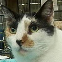 Adopt A Pet :: Chiclet - Hallandale, FL