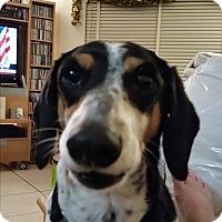 Adopt A Pet :: Paddy - Pinellas Park, FL