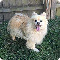 Pomeranian/Spitz (Unknown Type, Small) Mix Dog for adoption in Va Beach, Virginia - Teddy
