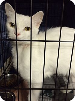 Domestic Mediumhair Cat for adoption in Byron Center, Michigan - Orion