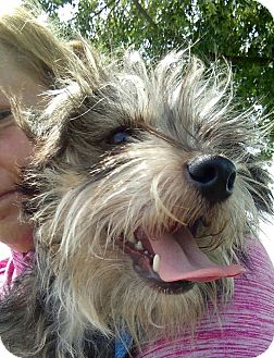 Miniature Schnauzer Mix Dog for adoption in Macomb, Illinois - Lil' Man