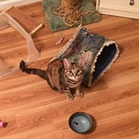 Domestic Shorthair Cat for adoption in Westminster, Maryland - Miranda