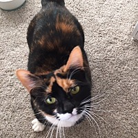 Calico Cat for adoption in Woodbury, New Jersey - Cosmo (CP)