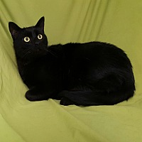 Domestic Shorthair Kitten for adoption in Hawk Point, Missouri - Noodle
