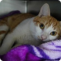 Adopt A Pet :: Flash - New Milford, CT