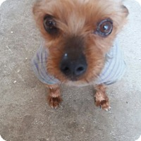 Yorkie, Yorkshire Terrier Mix Dog for adoption in Oakton, Virginia - Molly