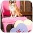 Photo 2 - Tibetan Spaniel/Chihuahua Mix Dog for adoption in Portland, Oregon - Starla
