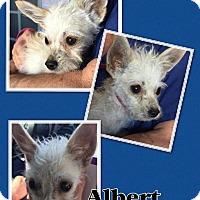 Adopt A Pet :: Albert einstein - Scottsdale, AZ