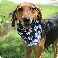 Adopt A Pet :: Nyla - SOUTHINGTON, CT