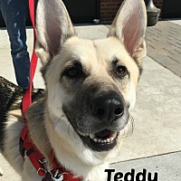 Adopt A Pet :: Teddy - Northville, MI