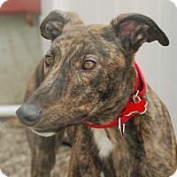 Adopt A Pet :: Rollie - Ware, MA