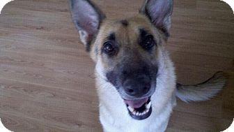 German Shepherd Dog Dog for adoption in Green Cove Springs, Florida - Sadie