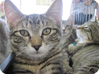 Domestic Shorthair Cat for adoption in Warren, Ohio - Daphne