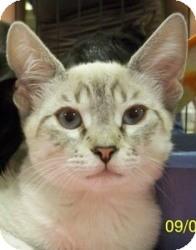 Siamese Cat for adoption in Sacramento, California - Sassy V