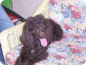 "Cockapoo Mix Dog for adoption in New Castle, Pennsylvania - "" Claudette """