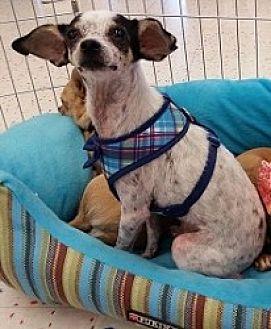 Chihuahua Mix Dog for adoption in Mesa, Arizona - Pedro