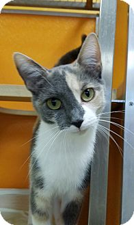 Calico Cat for adoption in Elyria, Ohio - Meow Meow