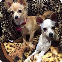 Adopt A Pet :: Bambi - Santa Monica, CA