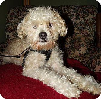 Poodle (Miniature)/Shih Tzu Mix Dog for adoption in Tacoma, Washington - Frank Sinatra
