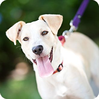 Labrador Retriever Mix Dog for adoption in Houston, Texas - Rally