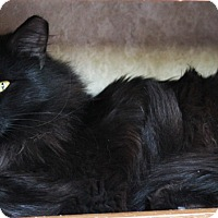 Domestic Longhair Cat for adoption in Colorado Springs, Colorado - Espoo