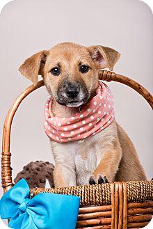 Shepherd (Unknown Type) Mix Puppy for adoption in Houston, Texas - Roomba