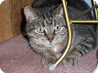 Domestic Shorthair Cat for adoption in Toledo, Ohio - Holland