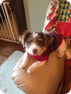 Jack Russell Terrier/Schnauzer (Miniature) Mix Dog for adoption in Jennings, Oklahoma - Suzi