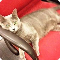 Domestic Shorthair Cat for adoption in Orange, California - Amanda