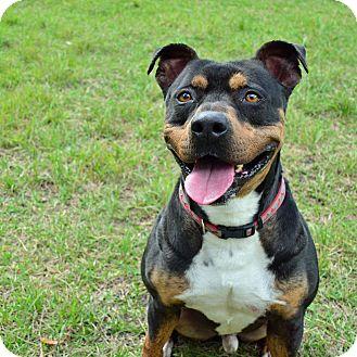 German Shepherd Dog Mix Dog for adoption in Brooksville, Florida - ROSCOE