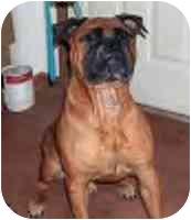 Bullmastiff Dog for adoption in North Port, Florida - Chester