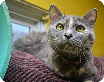 Domestic Shorthair Cat for adoption in Pittsburg, Kansas - Pretty Kitty