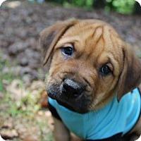Adopt A Pet :: Joshua - Charlotte, NC
