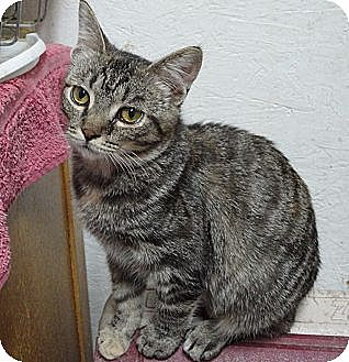 Domestic Shorthair Cat for adoption in MADISON, Ohio - Dora