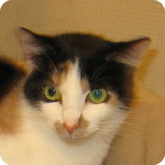 Calico Cat for adoption in Hamilton, New Jersey - CALLIE-2013