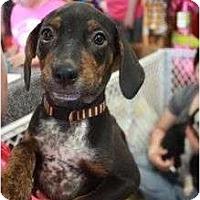 Adopt A Pet :: Lexi - Arlington, TX
