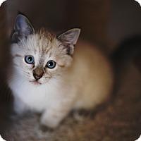 Adopt A Pet :: Kaworu - Chicago, IL