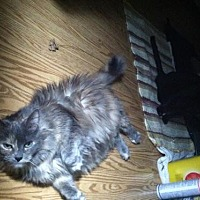 Domestic Longhair Cat for adoption in Franklin, Indiana - Sarah