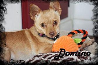 Pomeranian/Chihuahua Mix Dog for adoption in Anaheim Hills, California - Domino