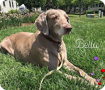 Weimaraner Dog for adoption in Grand Haven, Michigan - Bella